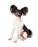 Papillon Dog Big Smile. A cute happy little Papillon dog sitting with a big smile on his face stock images