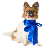 Papillon dog breed with a blue bow Royalty Free Stock Photo