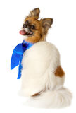 Papillon dog breed with a blue bow, isolated Royalty Free Stock Photos