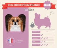 Papillon Dog breed  infographics. Royalty Free Stock Photo