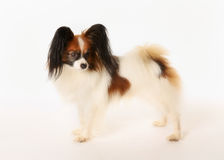 Papillon dog. Brown and white purebred papillon dog facing the camera royalty free stock images
