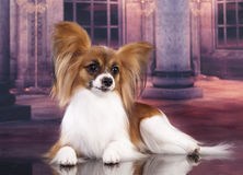Papillon dog butterfly Royalty Free Stock Photography