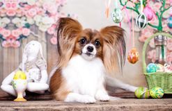 Papillon, dog butterfly. And easter eggs stock photos