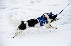 Papillon dog chasing snowflakes Royalty Free Stock Photos