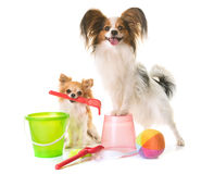 Papillon dog and chihuahua in holidays. Papillon dog and chihuahua in holiday in front of white background Royalty Free Stock Photography