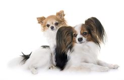Papillon dog and chihuahua. In front of white background royalty free stock photo