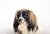 Papillon dog Close-up. Portrait on a white background stock photography