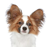Papillon dog. Close-up portrait. On a white background royalty free stock photography