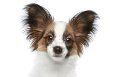 Papillon dog. Close-up portrait Royalty Free Stock Photos