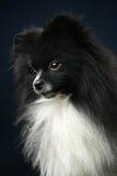 Papillon dog. Close-up portrait Royalty Free Stock Photo
