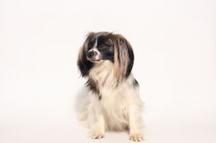Papillon dog Close-up portrait Stock Photos