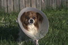Papillon Dog with Cone. Outdoors in tall grass Royalty Free Stock Photography