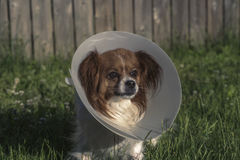 Papillon Dog with Cone. Outdoors in tall grass Stock Photography
