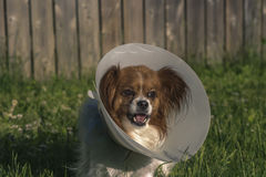 Papillon Dog with Cone. Outdoors in tall grass Royalty Free Stock Images