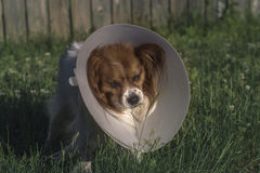 Papillon Dog with Cone. Outdoors in tall grass Stock Photo