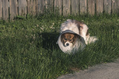 Papillon Dog with Cone. Outside in long grass Stock Photo