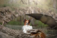 Papillon dog in the forest. Sunny day stock images