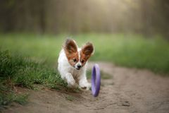 Papillon dog in the forest. Sunny day stock photos