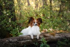 Papillon dog in the forest. Sunny day royalty free stock photos