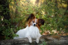 Papillon dog in the forest. Sunny day royalty free stock images