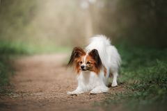 Papillon dog in the forest. Sunny day stock photography