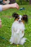The Papillon dog is on the green grass. Beautiful Papillon dog sitting on the street stock photography
