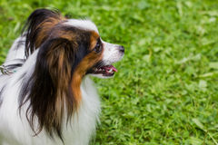 The Papillon dog is on the green grass. Beautiful Papillon dog sitting on the street stock image