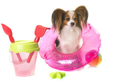Papillon dog in holidays Stock Images