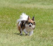 Papillon Dog on a Lawn Stock Image