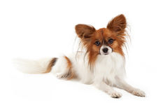 Papillon Dog Laying. A cute young Papillon dog laying and looking straight forward at the camera stock images