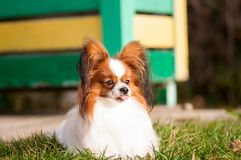 Papillon dog looking at something, with pulled out tongue stock image