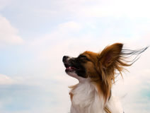 Papillon dog. Looking to the sky stock images