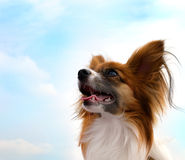 Papillon dog. Looking to the sky stock image