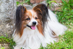 Papillon dog lying in the green grass. Portrait of cute Papillon dog lying in the green grass stock photo