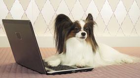 Papillon dog is lying near the laptop on bed royalty free stock image