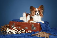 Papillon dog lying on vintage suitcase. On a dark-blue background Royalty Free Stock Photo