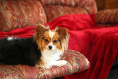 Dog. Multicolored Papillon breed of dog, also known as Spaniel type Royalty Free Stock Image