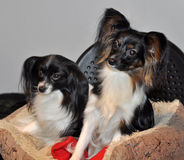 Papillon dog and Phalen dog. The Papillon is one of the oldest of the toy spaniels, it derives its name from its characteristic butterfly-like look of the long stock photo