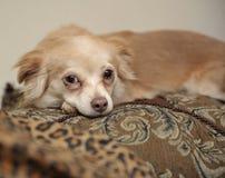 Papillon Dog on Pillows Royalty Free Stock Photo