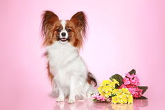 Papillon dog on pink background. Papillon dog sits with flowers on pink background royalty free stock images