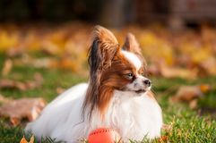 Papillon dog playing with ball outdoors royalty free stock photos