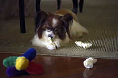 Papillon dog playing with his bone royalty free stock image