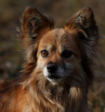 Papillon dog portrait Royalty Free Stock Image