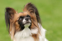 Papillon dog portrait. In the garden royalty free stock photo