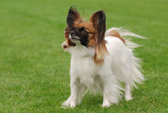 Papillon dog portrait. In the garden stock photos