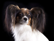 Papillon dog, portrait Royalty Free Stock Photos