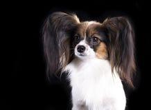 Papillon dog, portrait Stock Images