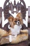 Papillon dog, portrait Stock Image