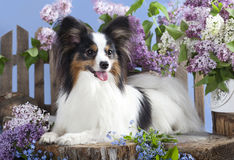 Papillon dog. Portrait of a purebred papillon dog royalty free stock photo