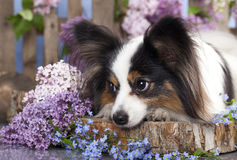 Papillon dog Royalty Free Stock Photography